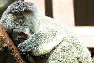 koala-1651042_1920