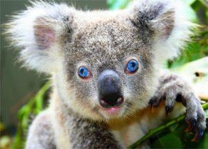 koala-518312_1280